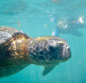 Snorkeling with a sea turtle in the Galapagos