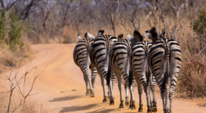Wildlife Photo of the Week: A Stripe of Zebras