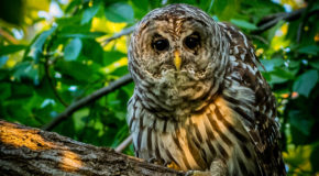 Wildlife Photo of the Week: Barred Owl