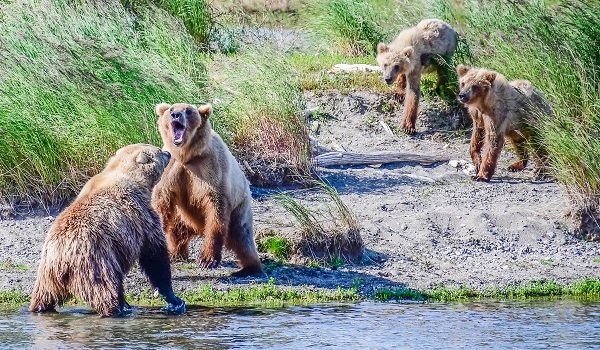 Bears sparring at Brooks Falls, Alaska