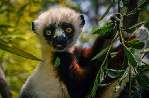 Celebrate World Lemur Day with Fifteen Fascinating Facts About Lemurs