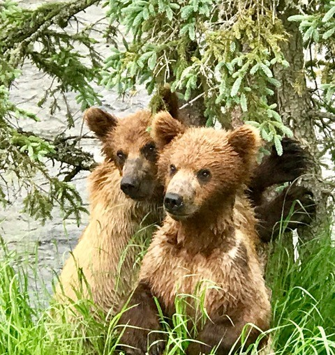 Brown bear cubs at Brooks Falls, Katmai National Park, Alaska