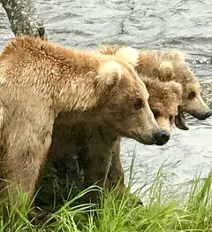 Grizzly bears at Brooks Falls, Katmai National Park, Alaska