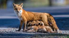 Wildlife Photo of the Week: Fox Family