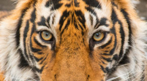 Wildlife Photo of the Week: Tiger Eyes