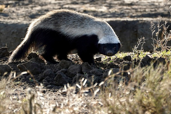 Wild honey badger in Tanzania