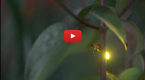 Videos: Summer Nights with In-Sync Fireflies