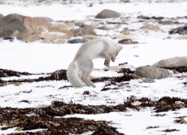 Arctic fox hunting in Churchill