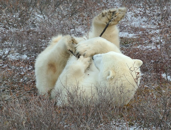 Polar bear playing