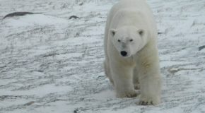Photos from Churchill Polar Bear Adventures