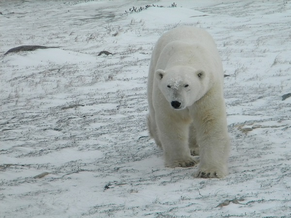 Polar bear tour Churchill