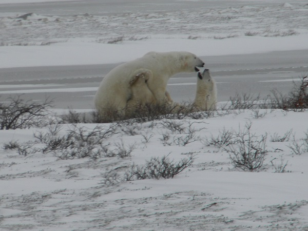Polar bears in the wild