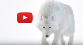 Video: Life in the Cold—Photographing Arctic Animals