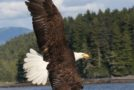 Wildlife Photo of the Week: American Bald Eagle