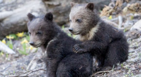 Wildlife Photo of the Week: Grizzly Bear Pals