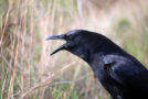 Crows Are as Intelligent as a Seven-Year-Old Child