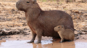 Wildlife Photo of the Week: Capybaras