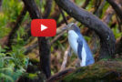 Videos: The Penguin Paths of New Zealand