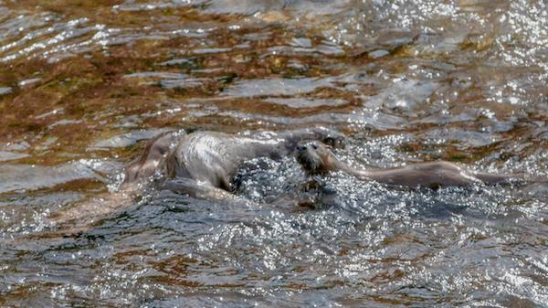 Otters playing in Yellowstone.