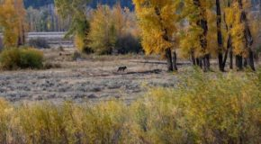 Traveler Story: Wolves of the Lamar Valley and Beyond