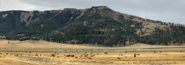 Bison herd in Yellowstone.