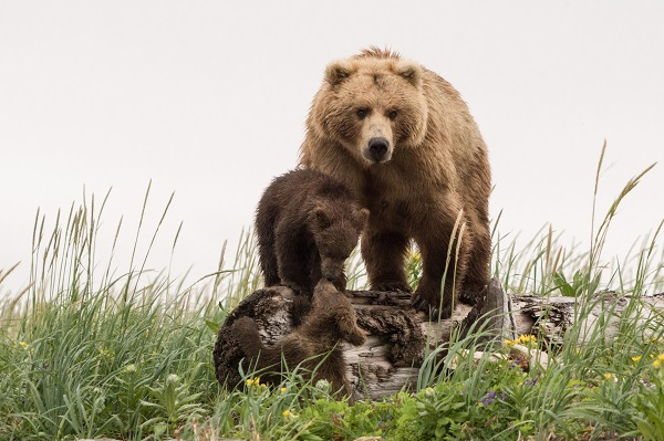 Wild brown bear family in Alaska