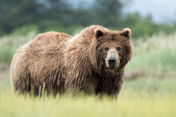 Wild grizzly bear in Alaska