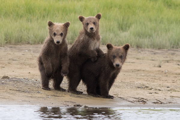 Grizzly bear cubs in Alaska