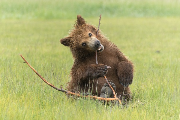 Brown bear cub playing in Alaska