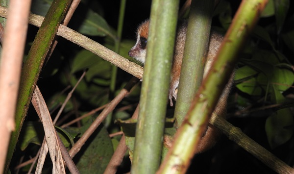 Goodmans mouse lemur