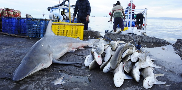 Illegal shark finning