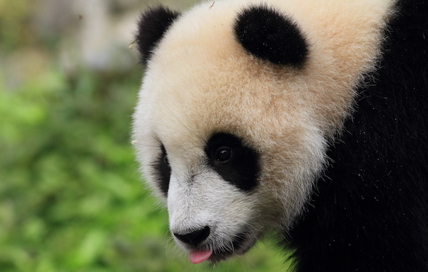 Baby panda bear in Chengdu, China.
