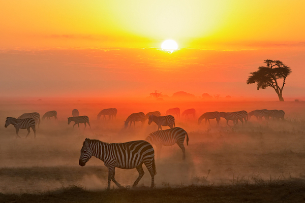 Zebra walking in the sunset in Kenya.