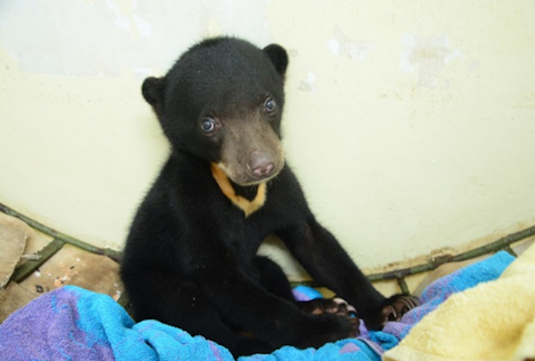 A tiny baby Wawa taking a rest after arriving at the Bornean Sun Bear Conservation Centre. © BSBCC