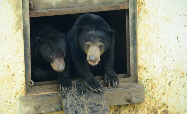 Wawa (left) and Dodop (right) playing in the bear house © BSBCC