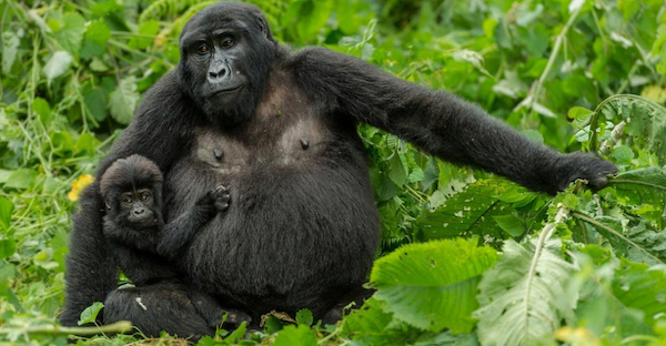 Mother and baby mountain gorilla in Uganda.