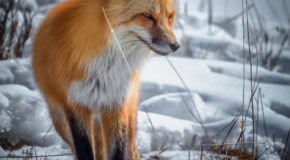 Wildlife Photo of the Week: Red Fox in Yellowstone