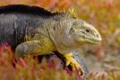 Great News for the Galapagos: Land Iguana Brought Back from Extinction on Santiago