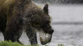 When Is the Best Time to Go to Alaska to See Grizzly Bears?
