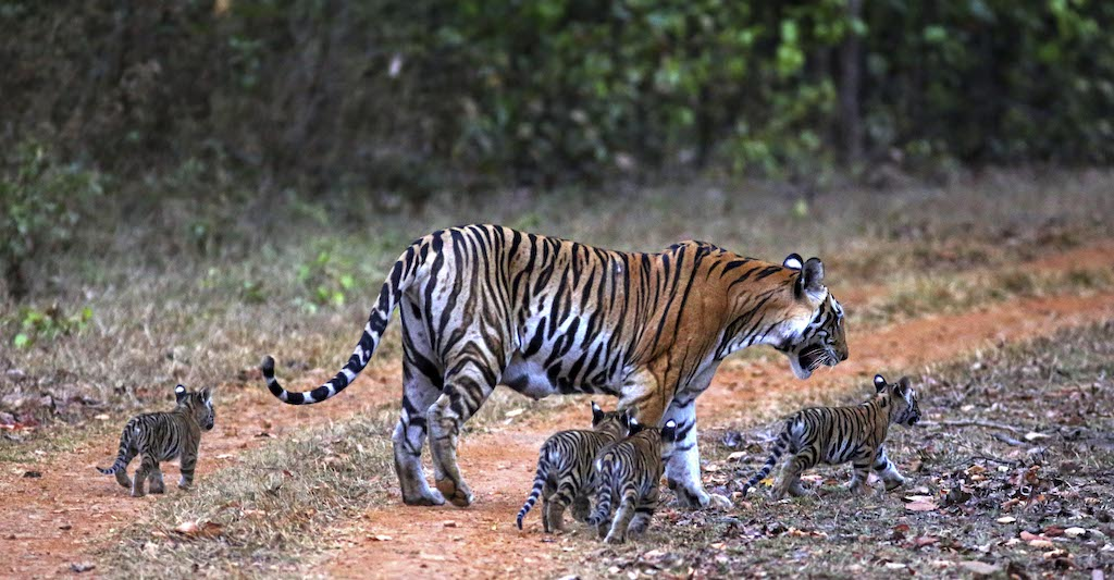 Tiger and cubs in India.
