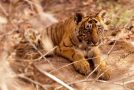 13 Fascinating Facts About Tigers