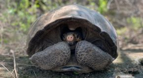 Fernandina Giant Tortoise Found After <br> 113 Years of 'Extinction'
