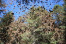 Monarch Populations Soar to New Heights