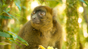 From Research to Ranomafana: <br> Lemur Conservation in Madagascar