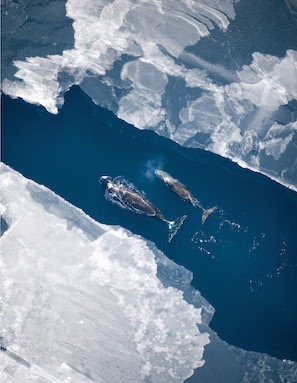 A bowhead whale and her calf surface in the Arctic Ocean ice off the northern coast of Alaska.