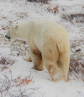 Polar bear walking away in Churchill, Manitoba.
