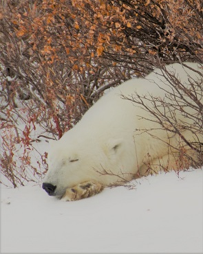 Polar bear asleep in the snow in Churchill, Manitoba.