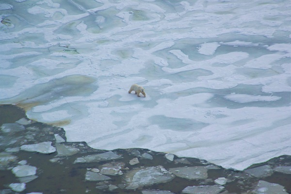 Polar bear on the ice from a helicopter in Churchill, Manitoba.