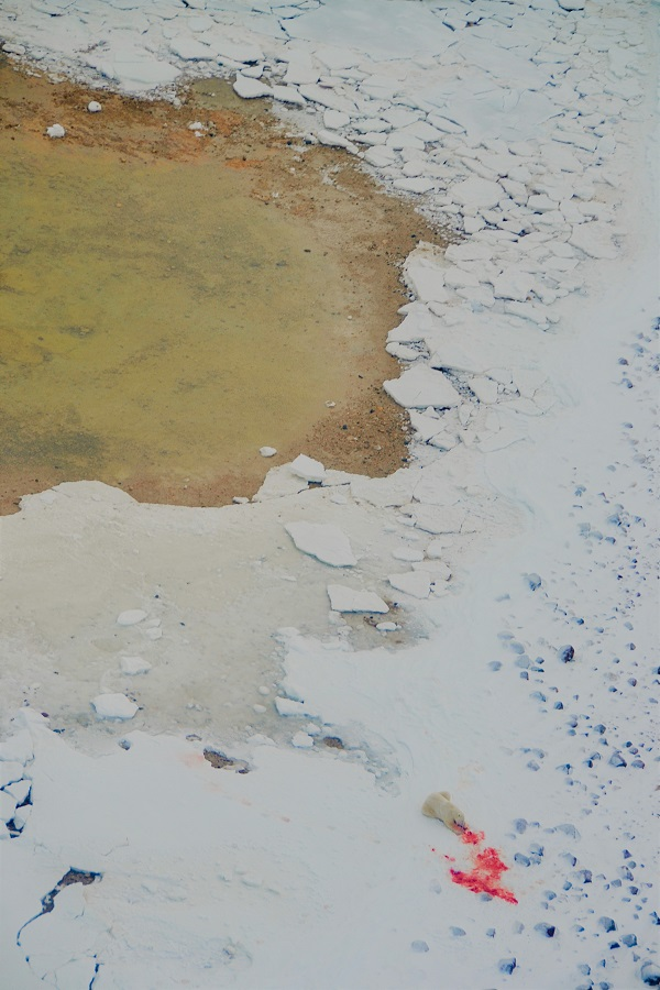 Polar bear eating its kill on the ice from a helicopter in Churchill, Manitoba.