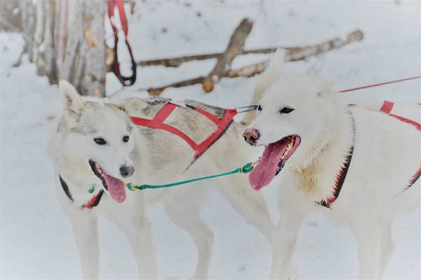 Sled dogs in Churchill, Manitoba.